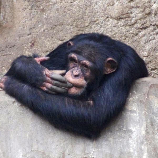 Entscheidungen - nachdenklicher Schimpanse
